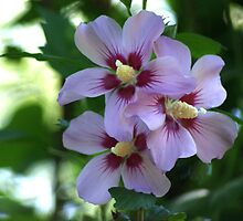 Triple Rose of Sharon by Rick  Friedle