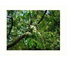 Mayday tree blossoms Art Print