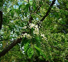 Mayday tree blossoms by Jim Sauchyn