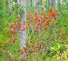 Cranberry bush in autumn by Jim Sauchyn