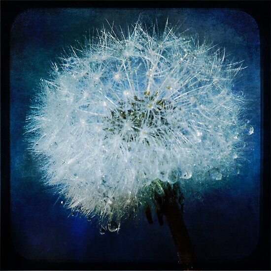 Dandelion TTV by Megan Noble