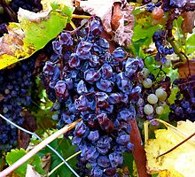 Barossa Grapes by Jessica Henderson