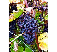Barossa Grapes Photographic Print