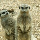 "The ""simples"" Meerkat by danielisted"