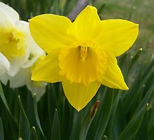 Daffodils! by Lisa MacKay