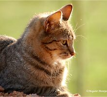 SUNRISE PROFILE CAPTURE - The African Wild Cat - Felis silvestris lybica by Magaret Meintjes