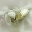 White Star Magnolia by EbyArts