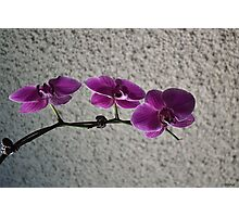 Beautiful Phalaenopsis Orchids Photographic Print