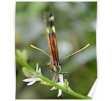 Butterfly on Twig with White Flowers Poster