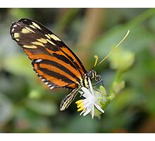 Butterfly on White Flower Photographic Print