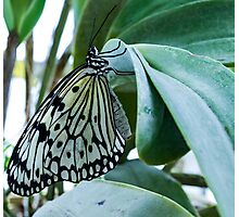 Butterfly on Green Leaf Photographic Print
