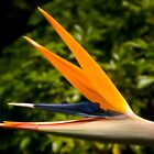 Bird of Paradise by DavidsArt