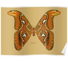 Atlas Butterfly (moth) Poster