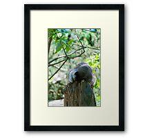 Sleeping Raccoon Framed Print
