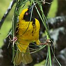 NOW YOU SEE, THIS IS HOW IT'S DONE! - (SOUTHERN) MASKED WEAVER –  SWARTKEEL GEELVINK - Ploceus velatus by Magaret Meintjes