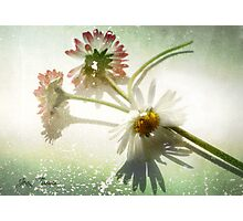 Three Daisies Photographic Print