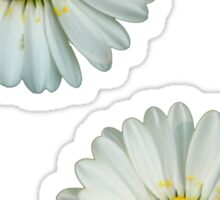 Two white daisies Sticker