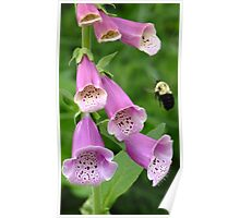 Foxgloves and Bumblebee Poster