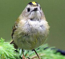 Britains smallest bird by Paul Watkins