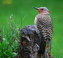 """""""  Yellow Shafted Flicker  """" by fortner"""