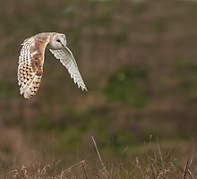 Barn Owl in Flight by FranWalding