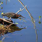 """  Green Heron  "" by fortner"