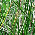 Black-Tailed Skimmer /Orthetrum Cancellatum (female) by Arianey