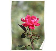 Sunshine Rose Poster