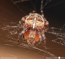 Female garden spider (L.Araneus diadematus) by toucanjester