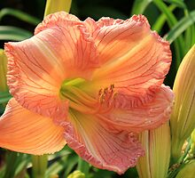 Lily And Some Of Her Buds by Carolyn  Fletcher