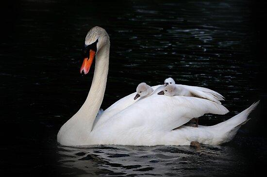 Swan taxi by Javimage
