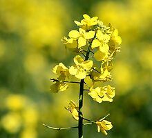 Rapeseed Field by AnnDixon