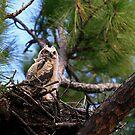 """""""  Great Horned Owlet  """" by fortner"""