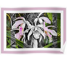 Dendrobium in Black, White and Pink Poster