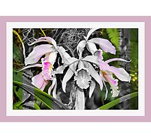 Dendrobium in Black, White and Pink Photographic Print