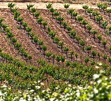 Field Of Vines by Agro Films