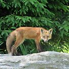 Fox Pup by Leeanne Middleton