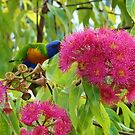 Rainbow lorikeet feeding on native blossoms by Sue Downey