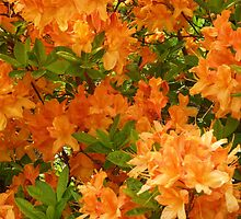 orange glow by shireengol