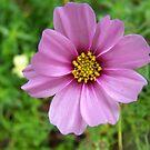 Cottage flower by Matthew Walmsley-Sims