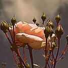Vintage Rose by Barbara Gerstner