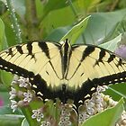 yellow butterfly by ssphotoshop