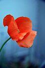 Poppy Petals by coffeebean