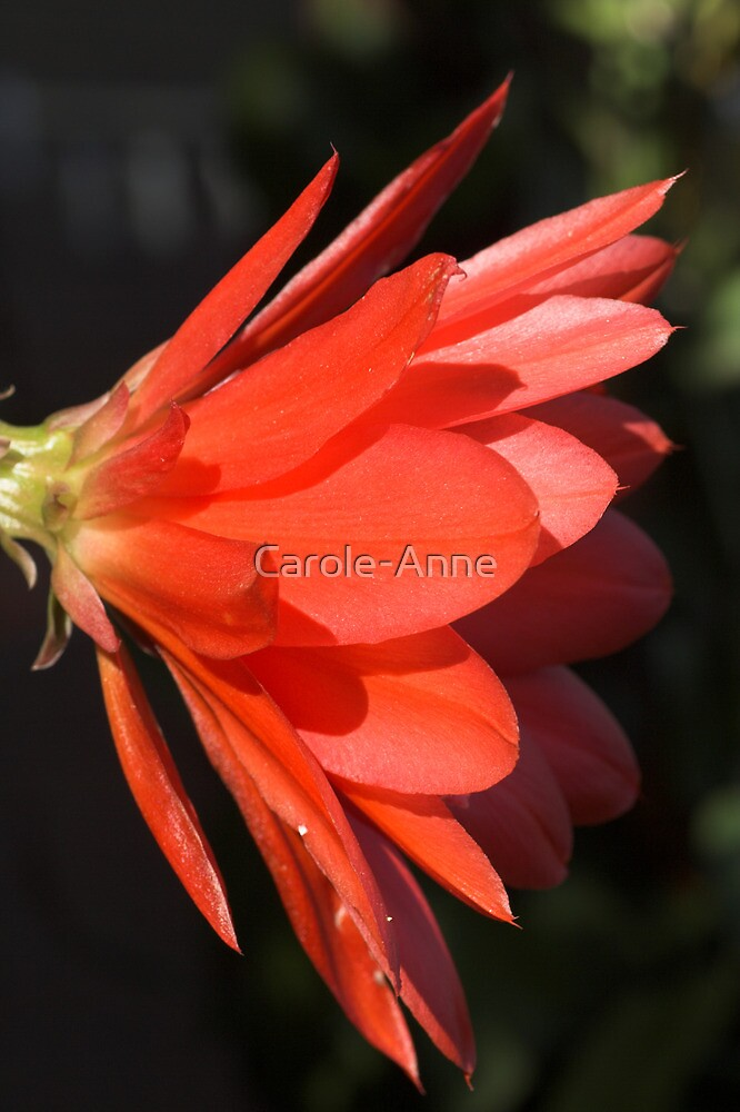 Red Zygo Flower in Profile by Carole-Anne