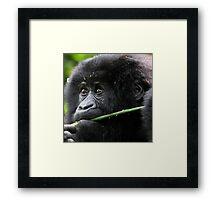 He seems to say,'This is Mine'. Juvenile Mountain Gorilla Eating, Kwitonda Group, Rwanda, East Africa Framed Print