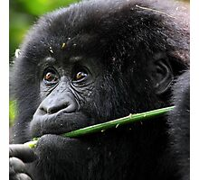 He seems to say,'This is Mine'. Juvenile Mountain Gorilla Eating, Kwitonda Group, Rwanda, East Africa Photographic Print