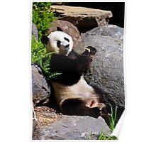 Panda, Adelaide Zoo Poster