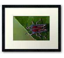Stink bug. Framed Print