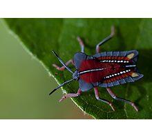 Stink bug. Photographic Print