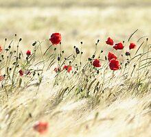 A poppy poem by Stephanie Köhl